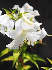 """""""  """" (Polotaro) Tags: flower nature pen olympus   zuiko       mzuikodigital45mmf18 epm2"""