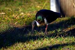 KXJS1878 - Gulliver 2014 (John Skewes) Tags: bird garden australia gulliver ibis queensland goldenhour townsville northqueensland blackibis