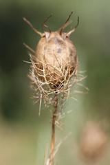 Thistle (comparato) Tags: flower macro fleur thistle flore macrophotography chardon macrophotographie