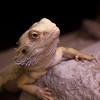 Alexander (missMikaloff) Tags: portrait pet macro turkey photo cool day reptile year follow antalya chuck popular chameleon reptiles портрет макро турция photoyear хамелеон nopin