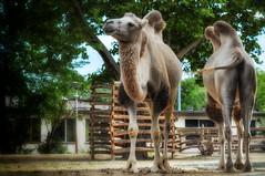 DSC_0029 (chriskg5) Tags: life africa wild nature beautiful animal zoo hungary budapest magyar amneville