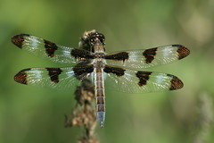 Shimmer of a skimmer (Rita Wiskowski) Tags: morning light wisconsin insect dragonfly milwaukee spotted lakepark twelve skimmer