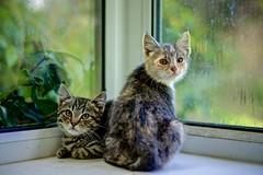 Feral Kittens - Tigger & Princess. (EXPLORE 02/09/2014) (johnlunt) Tags: explore explored 855mmprimelensdigitalimagecolourphotophotographjohnluntjohnlunt closeuphorizontalcandidportraitnaturenaturalwildlifeferalkittenscatstiggerprincesstabbydilutedtortiecutealertnessfreshnesssoftnessinnocencecarefreelookingatcamerapolveithanfarmlenteglosfoweycornwallsouthwestcountryengland