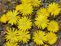 Lithops dorotheae, C 124. (Succulents Love by Pasquale Ruocco (stabiae)) Tags: southafrica lithops mesembryanthemum succulents rsa stabiae aizoaceae succulente mesembryanthemaceae dorotheae cactusco mesembs floweringstones sassifioriti pasqualeruocco mesembryanthema succulentslove