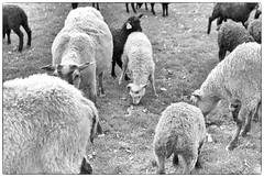 Ba (Xerethra) Tags: bw animals 35mm geotagged spring nikon europa europe sheep sweden skandinavien may lamb sverige scandinavia maj vår får djur svartvit järfälla lamm 2013 görväln stockholmslän nikond80 dikartorp snutenvägen snutenvägenjärfällastockholmslänsverige