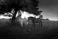 HORSES UNDER THE TREE (Stéphanie Carraro Photography) Tags: stéphaniecarraro lapalomablanche photographie photography paysage landscape massifcentral stormyweather orage darksky murol auvergne france horse cheval silhouette thunderstorm sombre numérique digital bw nb adobephotoshop sigmadp1 vivitar fisheye foveon