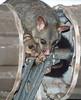 Possums in Brisbane (Robin Hutton) Tags: door possum baby animal photo garage mother brisbane roller robinhuttonart