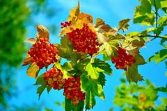 138_4009 (J Rutkiewicz) Tags: fruit garden flora owoce ogród
