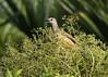 Fawn-breasted Bowerbird (Chlamydera cerviniventris) (Greg Miles) Tags: fawnbreastedbowerbird chlamyderacerviniventris alotau milnebay papuanewguinea