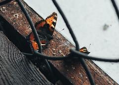 Butterflies (Katta of Sweden) Tags: butterlies vsco art nature kattaofsweden katharinawestin indoor oldschool still
