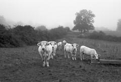 Encounter in the mist (Blitzwuerfel (flash cube)) Tags: burgundy werracamera tessar2850 efke50 rodinal