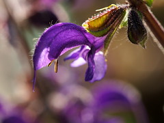Salvia pratensis... (quarzonero ...Aldo A...) Tags: salviapratensis nature macro flower coth