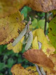 (Stitchinscience) Tags: autumn landscape oxfordshire beech catkin