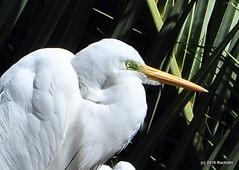 DSC_0893 (rachidH) Tags: birds oiseaux egrets herons aigrette greatwhiteegret garcetagrande ardeaalba whiteheron egrettaalba grandeaigrette plazaitalia buenosaires argentina rachidh nature