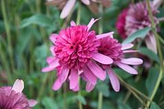 Echinacea purpurea Southern Belle (douneika) Tags: echinacea purpurea southern belle as0eraceae