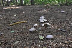 DSC_0702 (caudlewl) Tags: mcculloughpark mushrooms mn