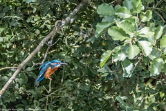 9Q6A7009 (2) (Alinbidford) Tags: alinbidford alancurtis brandonmarsh kingfisher greyheron heron kestrel