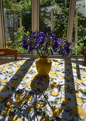 Shadows on the Table (Jocey K) Tags: newzealand southisland akaora flowers vase table lemon windows shadows agapanthus