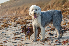 Mutt and Jeff (Bill McBride Photography) Tags: blitzen gibson chihuahua mutt mix oldenglishsheepdog oldenglish sheepdog dog dogs canine beach sand walk melbourne fl florida october 2016 canon eos 70d ef100400l
