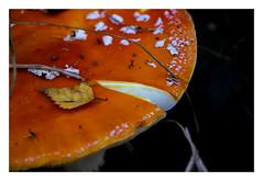 MacroMondays#edge (objet introuvable) Tags: macromondays macro champignon mushroom amanite edge canon70d contraste contrast automne autumn feuille leaf wood bois fort forest nature
