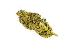 Grapefruit (Cannabis Sativa) (ShaneRounce.com Design and Photography) Tags: bud cannabis grapefruit marijuana nug nugshot sativa strain trees weed