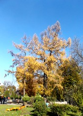/ Vrsfeny / Larch (ruta / ) Tags: autumn urbannature larch blue green yellow