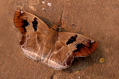 Odontoptilum angulatum - the Chestnut Angle (BugsAlive) Tags: butterfly butterflies mariposa papillon farfalla schmetterling бабочка conbướm ผีเสื้อ animal outdoor insects insect lepidoptera macro nature hesperiidae odontoptilumangulatum chestnutangle pyrginae wildlife chiangdaons chiangmai liveinsects thailand thailandbutterflies ผีเสื้อตาลแดงโคนขีด