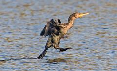 Cormorant (rumerbob) Tags: cormorant duck waterbird waterfowl wildlife nature bird birdwatching birdwatcher peacevalleypark lakegalena canon7dmarkii canon100400mmlens