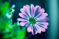 I'm thinking of you! (Pensive glance) Tags: daisy margureite flower fleur plant plante