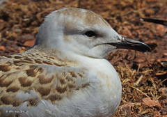 Silver Gull (HPVD Photos) Tags: silvergull chroicocephalusnovaehollandiae juvenile seagull birds nikon 11250s f63 iso100 fl1600mm