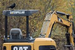 The Biodiversity of the Union Bay Natural Area: Post Restoration 3 (Scott Jamison) Tags: crow corvid cat construction rain