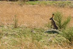 Profile (stuanderson7) Tags: grass bunny wildlife desert nature rabbit outdoor watchful animal alert field
