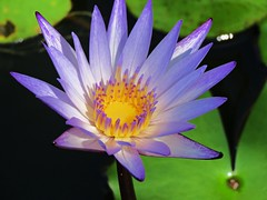 purple lily (oneroadlucky) Tags: nature plant flower purple lotus waterlily