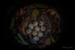 28 ottobre 2016, composizione autunnale con uova di quaglia (adrianaaprati) Tags: nido nid foglie leaves nest feuilles quail composizione composit quaglia uova eggs ufs huevos eier autunno autumn automne