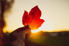Goodbye October - Hello November (thethomsn) Tags: goodbye october hello november season change leaf red sunset backlight warmness dof 30mm thethomsn autumn fall herbst goldenhour sundown germany hand bodypart
