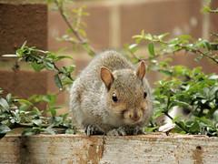 Grey Squirrel, London (GothPhil) Tags: greysquirrel fauna wildlife nature animal squirrel sciuruscarolinensis garden battersea london england october 2016