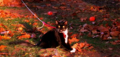 (timetomakethepasta) Tags: cat feline mammal warmblooded new york leo black white gray leaves outside outdoors photography autumn shadows sunshine nature pet animal leash meow meowing talking me
