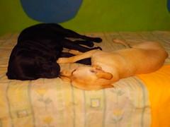 Una siestecita  (Casimiro y Venadita) (Xic Eseyosoyese (Juan Antonio)) Tags: una siestecita  casimiro negro blacky y mueca molly venadita mascotas perro perra amigos labrador retriever mestiza bonita acostados en la cama bien tiernos nikon coolpix s33 parece que se estan dando un beso dormiditos
