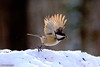 Thanks for breakfast!... Gotta fly!.... (Trevdog67) Tags: nature bird chickadee flight takeoff winter snow seed sunflower wings spread nikon d7100 sigma 150600mm 600mm 15x teleconverter highspeed irishtownnaturepark moncton newbrunswick nouveaubrunswick canada