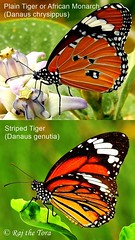 Tiger vs Tiger (Raj the Tora) Tags: tiger butterfly plaintiger plaintigerbutterfly africanmonarch danauschrysippus striped stripedtiger tawny blackstripes black stripes stripedtigerbutterfly danausgenutia butterflycomparison comparison nature wildlife entomology insects entomophily pollination plainvsstripedtiger plainvsstriped tigervstiger