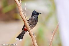 Red vented bulbul (asheshr) Tags: 200500mm bird birds birdsofindia birdsofodisha birdsoforissa bulbul nikkor200500 nikon nikond7200 redventedbulbul beautifulbird