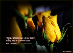 BURN OUT THE PAIN (Aspenbreeze) Tags: roses yellowroses flowers rosebuds quote yellow yellowflowers family bevzuerlein aspenbreeze moonandbackphotography