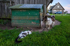 Cat and dog (paulius.malinovskis) Tags: sony sonya7r summer lithuania countryside nature vacation cottage dog cat play doghouse house