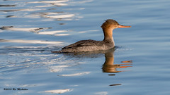 Faster than Donald Duck. (ricmcarthur) Tags: ducks erieau ontario canada ca mergusserrator merganser redbreastedmerganser redbreasted ricmcarthur rickmcarthur rondeauric