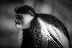 faut que je me fasse refaire le nez (rondoudou87) Tags: singe monkey noiretblanc noir blanc black blackwhite monochrome nature natur wildlife wild pentax k1 parc zoo reynou