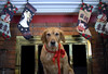 Olive at Christmas I (Photato Jonez) Tags: olive golden retriever dog mammal dogs mammals animal animals greenville michigan pure christmas stocking mantel fireplace alexander alex day