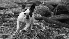 H-9 (Jrg Plesch) Tags: bully fun franzsischebulldogge franzsische franchi franch bulldog tiere haustiere haustier hund dog schwarzweiss