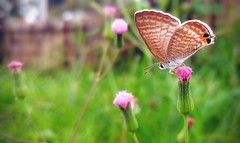 The Butterfly Effect (Mobile Macrogropher) Tags: butterfly macro close up mobile macrographer smartphone photography lgg4 flower pink purple bokeh dop nature outdoor ngc cc bali ubud insect bug