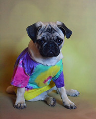We Need A Little More Peace In This World Today! (DaPuglet) Tags: pug puppy tiedye costume dog cute pugs dogs pets lmaoanimalphotoaward animal animals funny hippie peace pet preciouspetpics2000views coth coth5 alittlebeauty