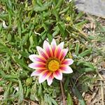 Flor thumbnail